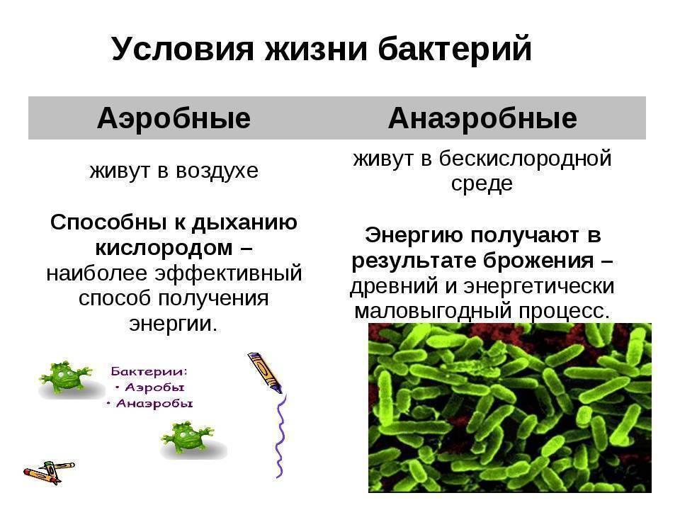 Аэробные бактерии и микроорганизмы для септика